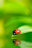 Fototapety Ladybug on a leaf reflected on water