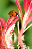 Ladybug on a flower reflected on water