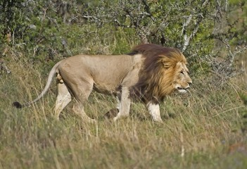 A huge Male Lion Patrols his territory in the African bush