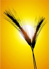 ear of wheat and sun
