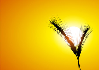 ear of wheat and sun