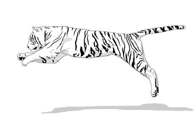 tigre_bianca