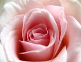 Rose - 6082408