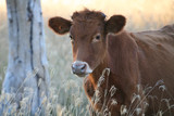 Calf in wooded pasture at sunset, Australia poster