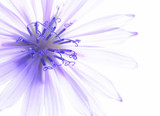 Close-up of blue corn flower with white background - 6091644
