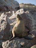 Wildlife on Islas Ballestas in Peru, Paracas Natural Park poster
