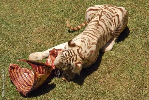 Tigers Eat Zebras Tiger Eating Zebra