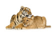 Quadro Lion Cub (5 months) and tiger cub (5 months)