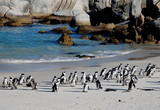 african penguins on the beach of Atlantic Ocean(South Africa) poster