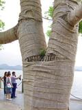 Arbre recouvert de bandages, lac Hangzhou, Chine poster