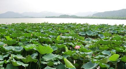 Champs de lotus sur le lac  Hangzhou, Chine