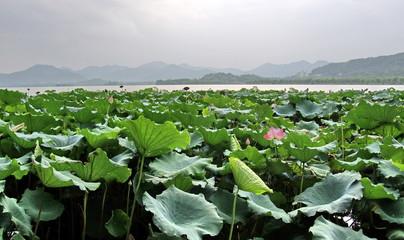 Lotus sur le  lac Hangzhou, Chine