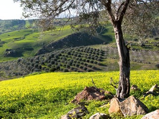 Rural landscape of a valley cultivate with olives in row