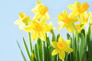 Yellow narcissuses over blue background