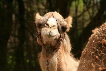 sonrisa de dromedario