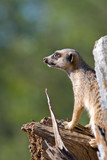 a beautiful and adorable meerkat is on guard on a tree stump poster