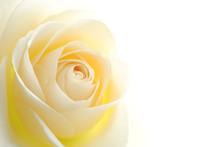 "Постер, картина, фотообои ""Close-up of soft white rose flower against white background"""