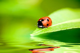 Fototapety Ladybug balanced on a bright green leaf with reflection
