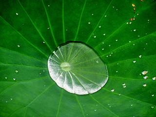 Poche d'eau dans une fleur de lotus