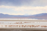 flamingos, standing in the lake, bolivia poster