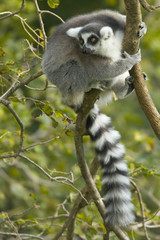 Little Lemur