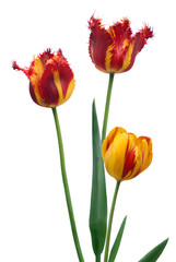 Three tulips bouquet isolated on white