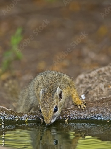 A Cute Squirell drinks from a Bird Bath