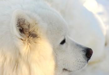 SAMOJED DOG CHIEN