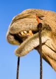 Smile of a camel on safari - Thar desert, Rajasthan, India poster