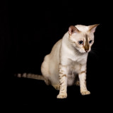 Portrait of isolated white bengal cat poster