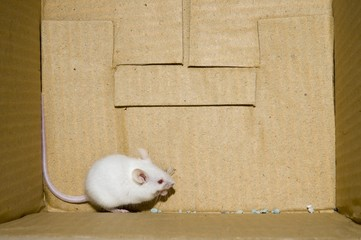 White mouse on a box background