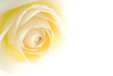 Close-up of soft creamy white rose flower - 6161236