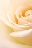 Close-up of soft creamy white rose flower  - 6161263