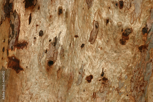 Bark of an Eeucalyptus tree - close up
