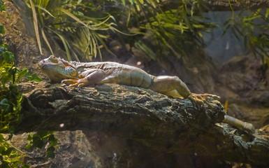 iguana in aqua terrarium