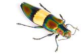 Jewel Beetle. poster