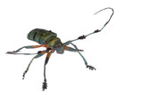 Tropical Rainforest Longhorn Beetle poster
