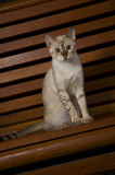 Portrait of white bengal cat poster