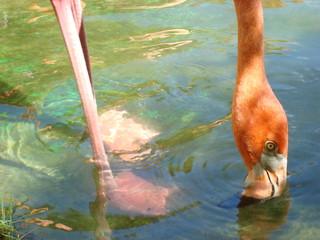 Carribean Flamingo, feeding (Phoenicopterus ruber ruber)