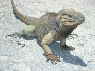 Rhinocerus Iguana, endemic to Hispaniola