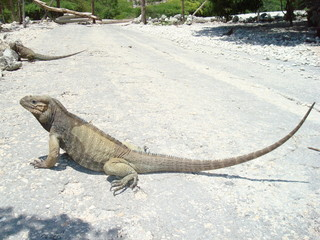Rhinocerus Iguana, endemic to Hispaniola