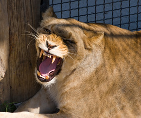 dangerous lioness with open mouth and big fangs
