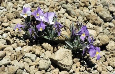 Teide-Veilchen (Viola cheiranthifolia)