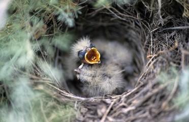 Short-toed Lark, nestling