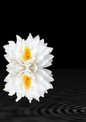 White Lotus Lily Beauty