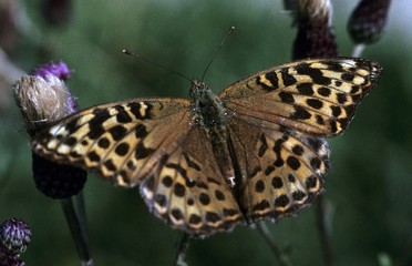 Silver-washed Fritillary butterfly (Argynnis paphia), female