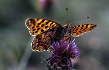Queen of Spain Fritillary butterfly (Issoria lathonia)