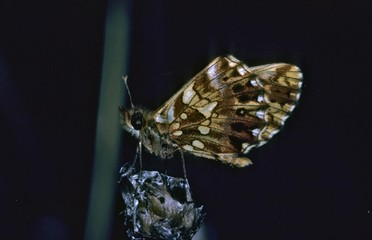 Weaver's Fritillary butterfly, Boloria dia