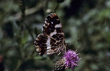 Map butterfly (Araschnia levana), summer generation