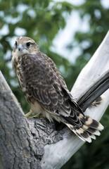 merlin (Falco columbarius), juvenile